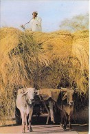 ATTELAGE DE BOEUFS Team Of Oxes - Bullock-cart Utilisé Par Les Agriculteurs Pakistanais / Used By Pakistani Farmers CPM - Equipos