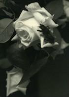 Portugal Guimaraes Etude Photographique Fleur Et Mouche Gros Plan Ancienne Photo Azevedo 1950 - Photographs