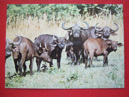 KENYA - BUFFALOS WILDLIFE - - Kenia