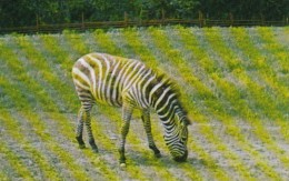 Canada Zebra At Alberta Game Farm Edmonton Alberta - Edmonton