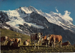 2 Cards / Breeding In The Swiss Alps At 2000 Meters - Sublime Mountains / Wengen 1952 - Elevage