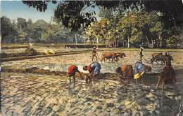 Das Setzen Des Reises In Indien, Basler Missions-Gesellschaft - Inde
