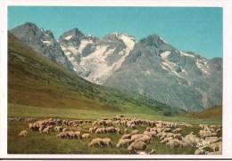 /// Alpage Au Col Du Lautaret - Troupeau De Moutons - Glacier Du Tabuchet - - France
