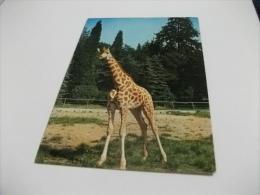 GIRAFFA GIRAFFES LA GIRAFE LYON RHONE  PARC DE LA TETE D'OR - Giraffe