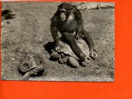 ZOOLOGISCHER GARTEN ZURICH - Schimpanse Und Riesenschildkrote (singes, Tortues) (non écrite) (faune, Animaux) - Singes