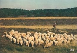 En Limousin : Pastorale Des Hauts Plateaux - Cap-théojac N° 23/432 (1981) [Agriculture - Elevage - Moutons - Troupeau] - Elevage