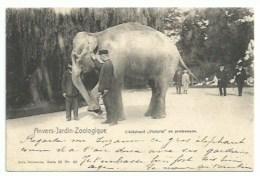 Belgique - Anvers - Jardin Zoologique -  L'éléphant Victoria En Promenade - Unclassified