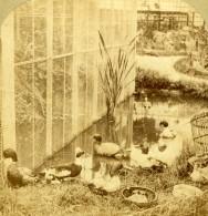 France Basse Cour Et Voliere Canard Bernache Ancienne Photo Furne Et Tournier 1860 - Stereoscopic