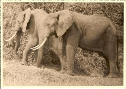 RUANDA-URUNDI-PHOTO ORIGINALE D´UN COUPLE D´ELEPHANTS-papier Gevaert - Ruanda- Urundi