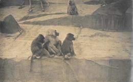 Singes Macaques - Zoo De Vincennes (?) - Carte Non Circulée - Apen