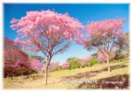 POSTAL PARAGUAY EL LAPACHO ROSADO - Paraguay