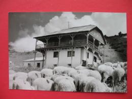 PELISTER,SHEEPS - Macedonia