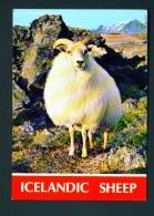 ICELAND  -  Icelandic Sheep  Unused Postcard - Iceland