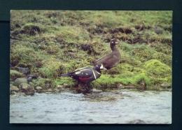 ICELAND  -  Birds  Harlequin Duck  Unused Postcard - Iceland