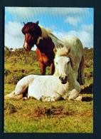 ICELAND  -  Icelandic Ponies  Unused Postcard - Iceland