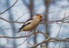 Carte Postale CP Oiseau - GROSBEC  / Sempach - HAWFINCH Bird Post Card - KERNBEISSER Vogel - 250