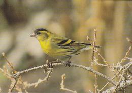 Carte Postale CP Oiseau - TARIN DES AULNES / Sempach - SISKIN Bird Postcard - ZEISIG Vogel Postkarte - 251 - Birds