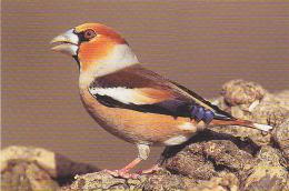Carte N° 03 - Oiseau GROS BEC /  Série LPO Ligue Royale Belge Pr La Protection Des Oiseaux - HAWFINCH BIRD - 256 - Oiseaux