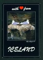 ICELAND  -  Kittiwake  Unused Postcard - Iceland