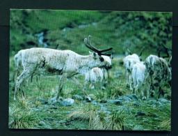 FALKLAND ISLANDS  -  South Georgia  Reindeer  Unused Postcard - Falkland