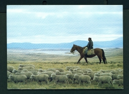 FALKLAND ISLANDS  -  Driving Lambs On West Falkland  Unused Postcard - Falkland
