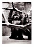 Singe Orang Utan Nico Orang Outan Zoologischer Garten Basel Bale Suisse - Singes