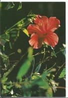 Flore  - Ile De La Réunion - Hibiscus - Non Voyagée - Ed Sogepro Saint Denis De La Réunion - - La Réunion