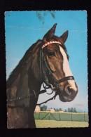 Old German Postcard  - 1960s Serie     - Horse -  Kruger - Pferde