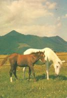 HORSES / PFERDE / CHEVAUX /    POSTCARD UNUSED     ( H  4367 ) - Pferde