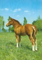 HORSES / PFERDE / CHEVAUX /    POSTCARD UNUSED     ( H  4368 ) - Pferde