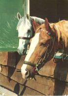 HORSES / PFERDE / CHEVAUX /    POSTCARD UNUSED     ( H  4397 ) - Pferde