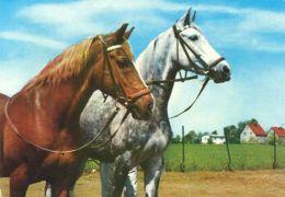 HORSES / PFERDE / CHEVAUX /    POSTCARD UNUSED     ( H  4401 ) - Pferde