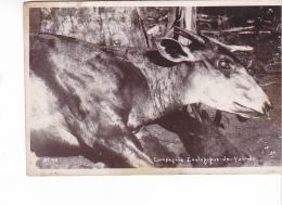 25741 Yaoundé (Cameroun) Compagnie Zoologique Antilope ?  -N° 73 Année 1935 - Animaux & Faune