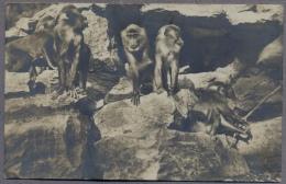 Insel Brioni I.d. Adria ZOO  Tierpark  Monkeys  About 1910y.  C158 - Croazia
