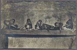 Insel Brioni I.d. Adria ZOO  Tierpark  Monkeys  About 1910y.  C159 - Croazia