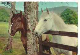 Cavalli Nel Recinto All'Aperto, Horses, Chevaux - Caballos