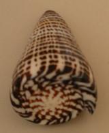 Conus Litteratus, 95mm, Nice! - Coquillages