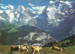 Vache Koe Cow / Suisse Schweiz / Interlaken - Vaches