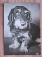 Hund004 : Dackel - Popp-Karte - Ungelaufen - Gut Erhalten - Hunde