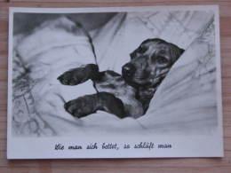 Hund007 : Dackel - Wie Man Sich Bettet, So Schläft Man - Ungelaufen - Gut Erhalten - Hunde