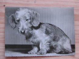 Hund022 : Dackel - Echte Photographie - Ungelaufen - Gut Erhalten - Hunde
