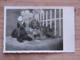 Hund028 : Dackel - Mit Freundin - Ungelaufen - Gut Erhalten - Hunde