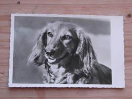 Hund044 : Dackel  - Ungelaufen - Gut Erhalten - Hunde