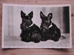 Hund050 : Hunde - Schnautzer - Ungelaufen - Gut Erhalten - Hunde