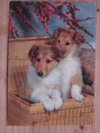 Hund052 : Hunde - Junge Collies Im Korb - Ungelaufen - Rückseite Gedunkelt - Hunde