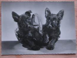 Hund058 : Hunde - Kleine Schnautzer Im Korb - Ungelaufen - Gut Erhalten - Hunde