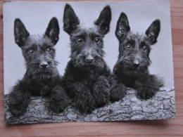 Hund060 : Hunde - Drei Schnautzer - Echte Photographie - Ungelaufen - Gut Erhalten - Hunde