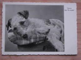 """Hund069 : Schnautzer  - """"Immer Bist Du Müde!"""" - Echte Photographie - Ungelaufen - Gut Erhalten - Hunde"""