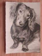 Hund115 : Dackel - Langhaardackel - Popp-Karte Nr. 1344 - Schw./w. Aufnahme   - Ungelaufen - Gut Erhalten - Hunde