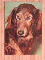 Hund117 : Dackel - Langhaardackel - Col. Ansicht - Popp-Karte Nr. FF 707 - Farbfoto  - Beschrieben - Gut Erhalten - Hunde
